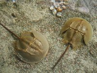 the horseshoe crab and its importance for health