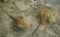 Potential applications of the Horseshoe Crab in the development of health products